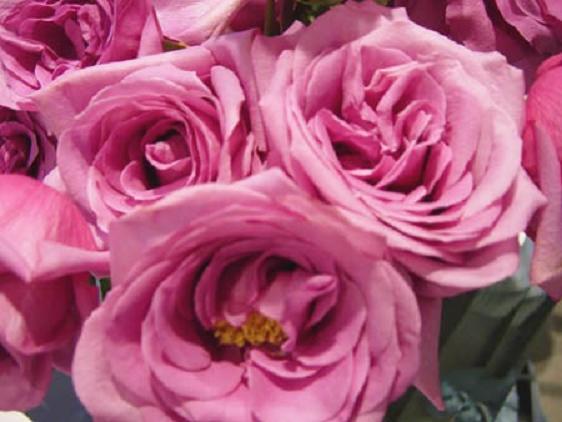 purpleroses.jpg