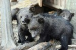 little russian bears