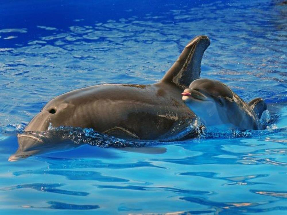 the bottlenose dolphin essay Fascinating facts about dolphins some of the often found species of dolphins are mentioned below before we start with dolphin facts, so take a look bottlenose dolphin (tursiops truncatus these dolphin facts will surely help you to write an essay or give a speech about the cutest animals.