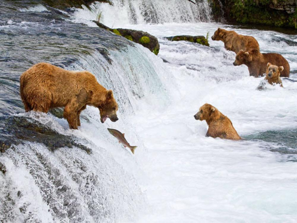01a Bears Fishing