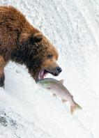 01b Bears Fishing