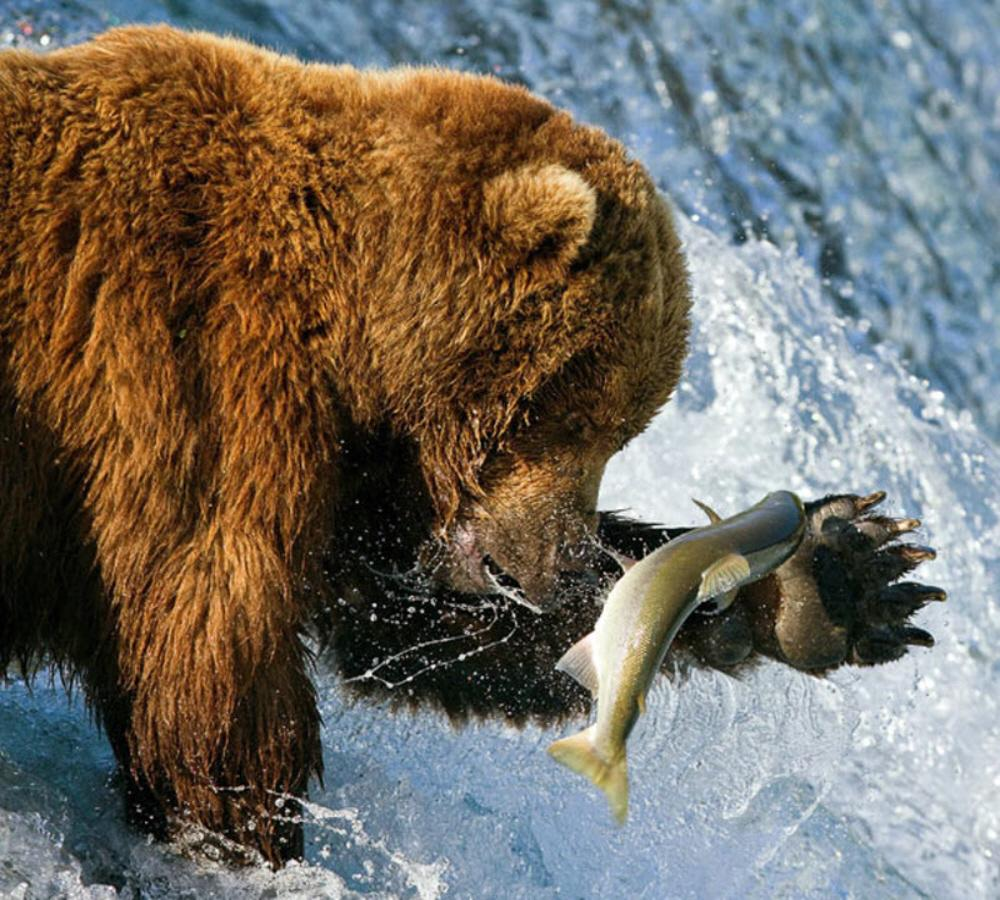 01c Bears Fishing