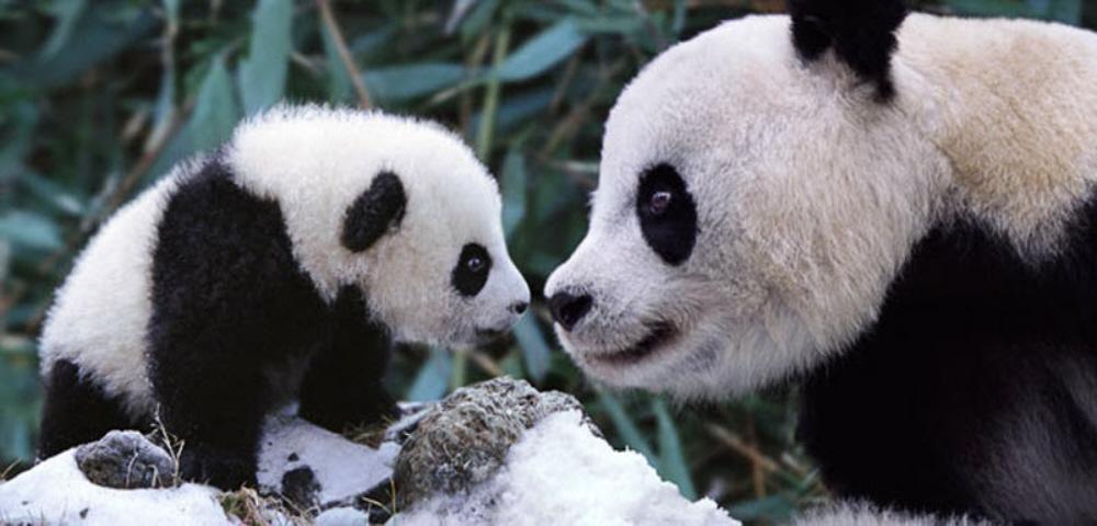 Family Panda