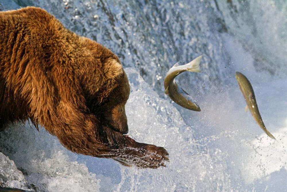01g bears fishing voices from russia for Snow bear ice fishing