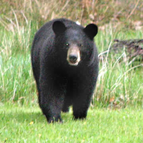 essay on grizzly bears Hibernation in bears is most likely triggered by a shortage of high calorie food as well as  (1986) denning of grizzly bears in the yellowstone national park.