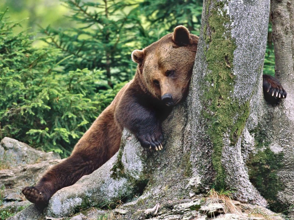 04a Russian bear