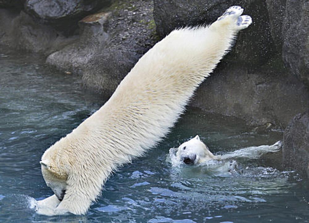 Largest Polar Bear In The World 00.00c polar bear 11.11 voices from ...