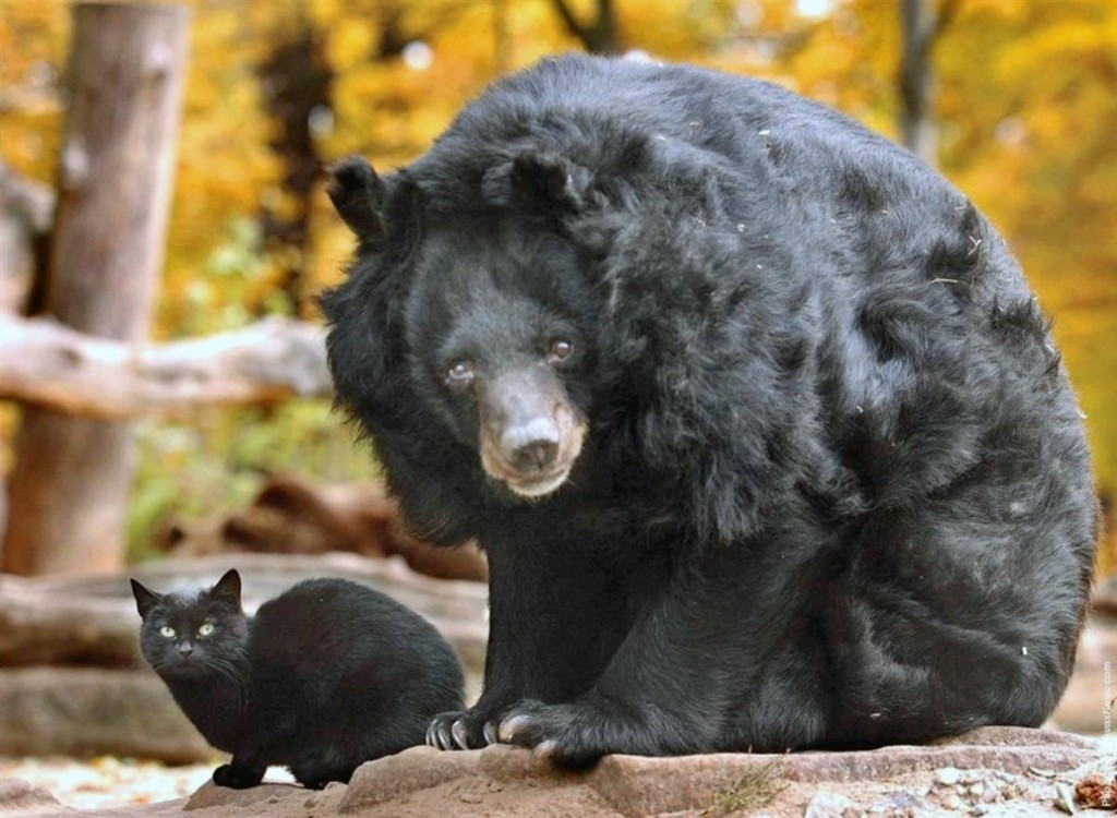 00 black cat with asian black bear 04.12