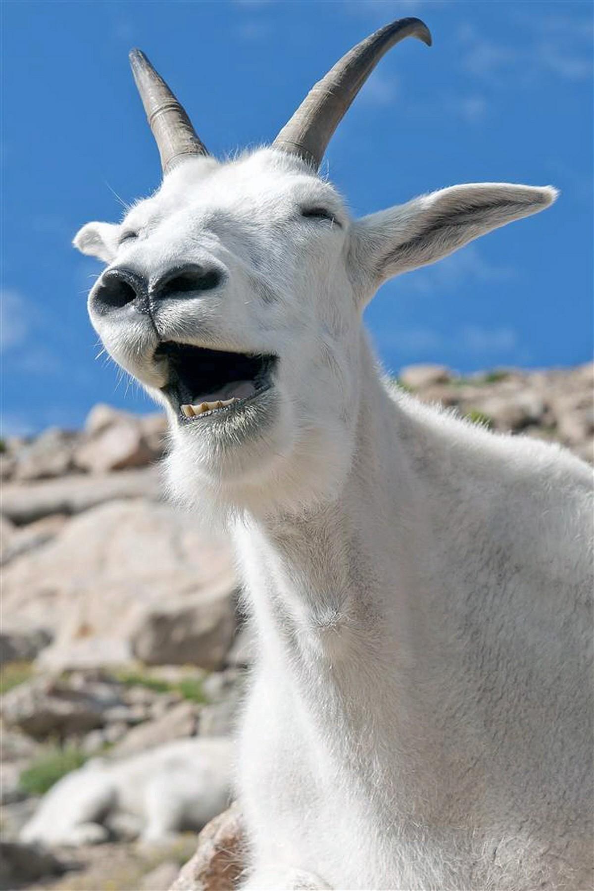00.0b Laughing Animals. 08.06.12. Mountain Goat