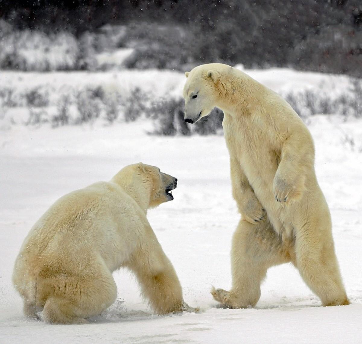 http://02varvara.files.wordpress.com/2012/08/00a-russian-polar-bear-fight-08-12.jpg