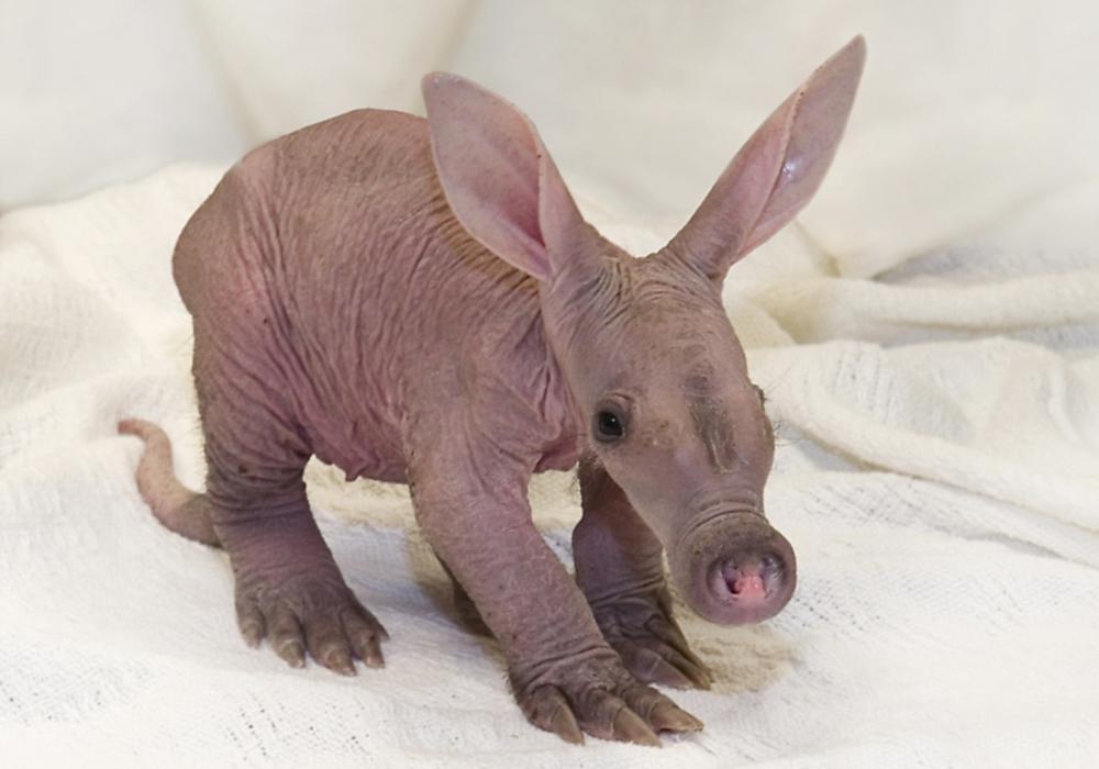00 baby aardvark. 03.04.13
