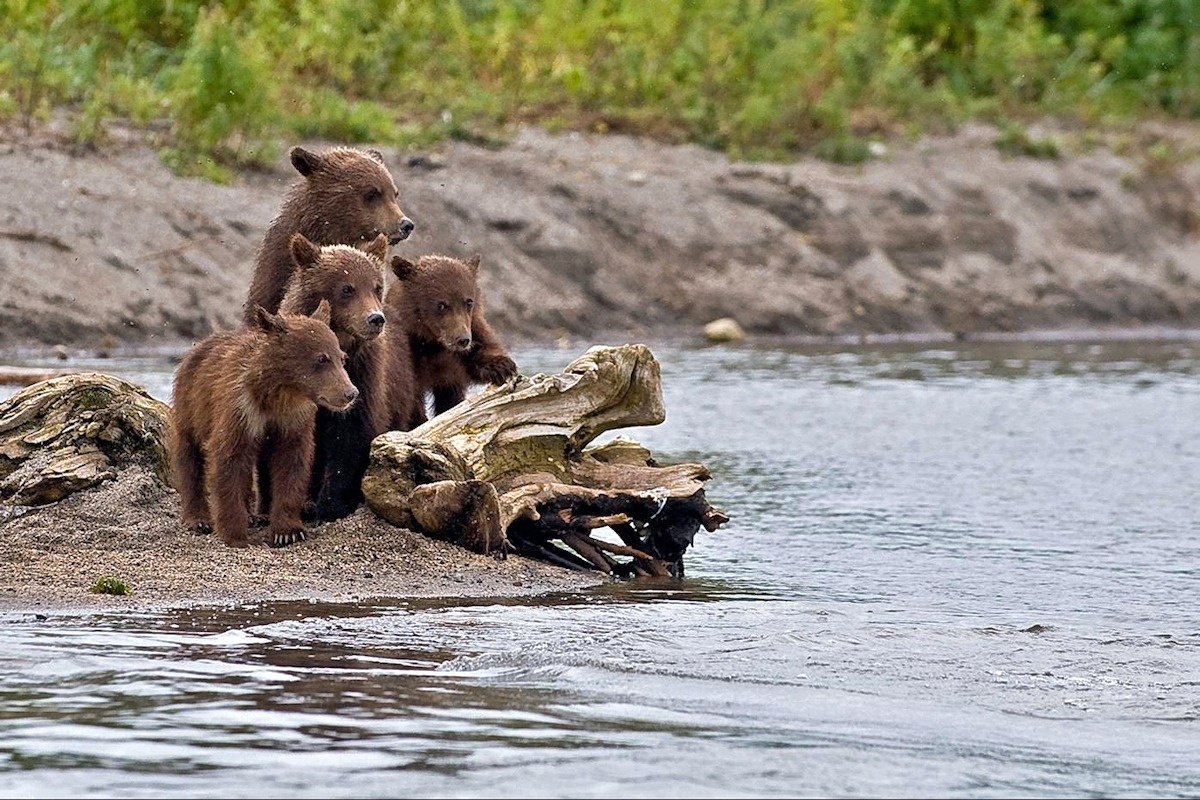 00 bear cubs in Kamchatka. 21.09.13