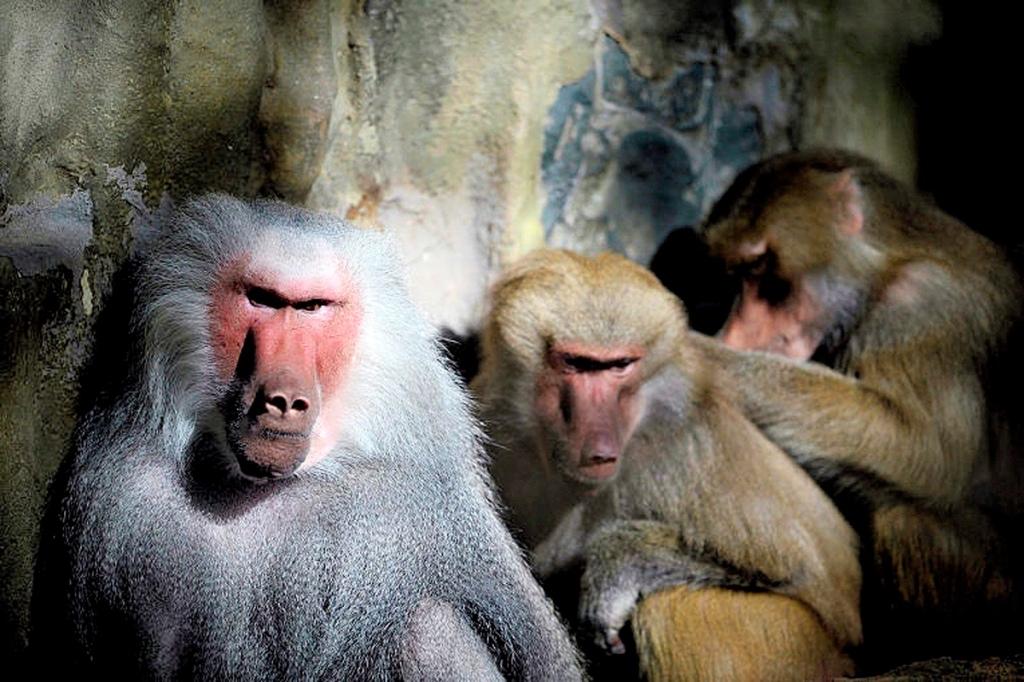 00 Little Brothers 05. Yellow baboons. Antwerp Zoo BELGIUM. 14.10.13
