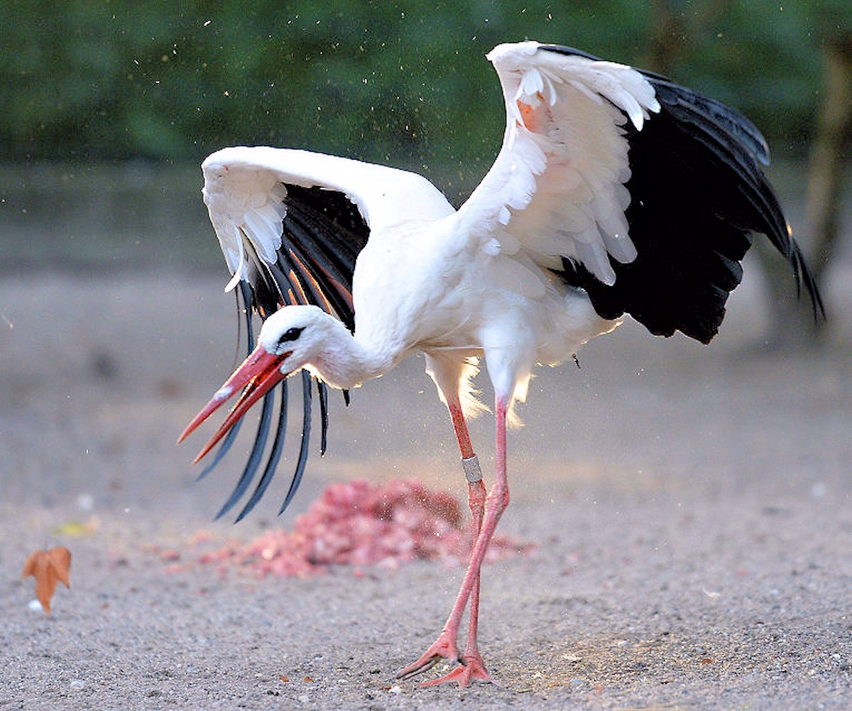 00 Little Brothers 07. stork. Strasbourg Zoo. FRANCE. 14.10.13