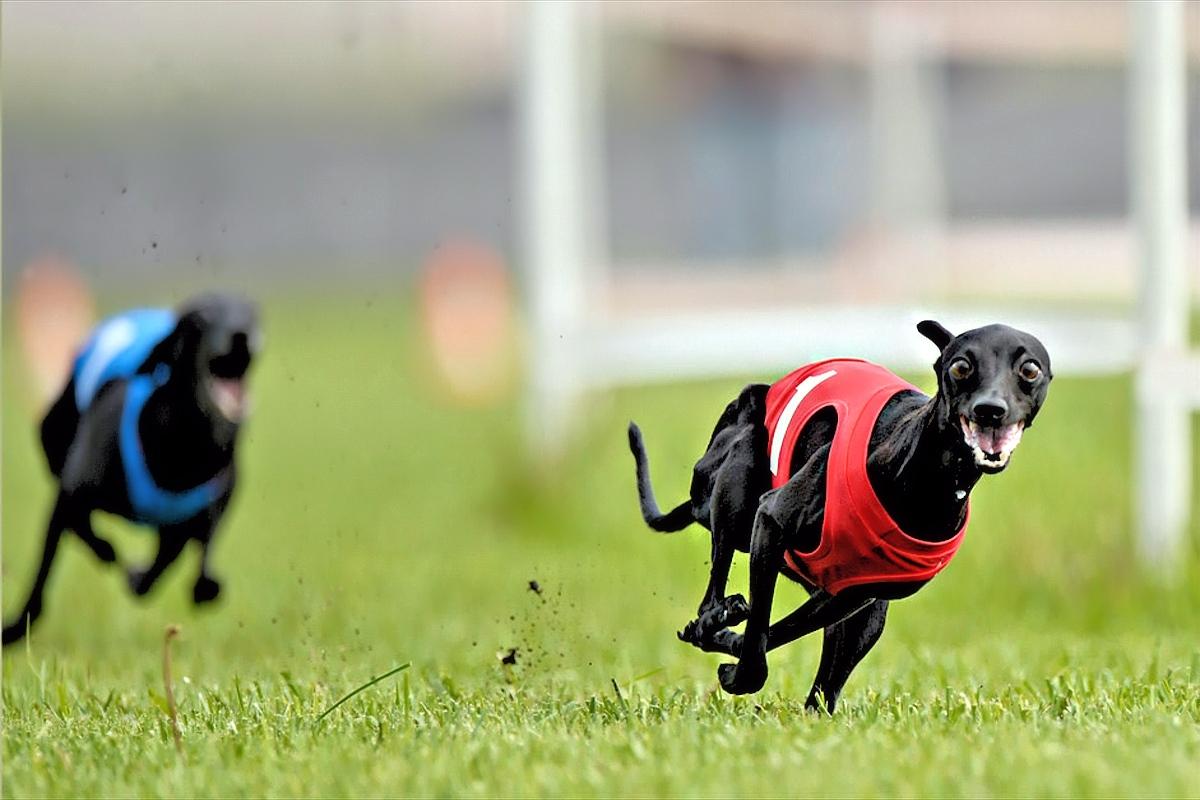 Racing Dog Rescue St Petersburg