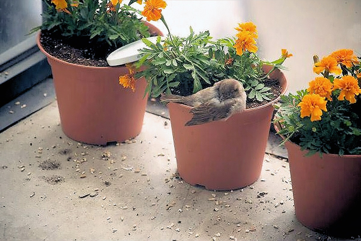 00 Russia. Sparrow sleeping in flowerpot. 01.10.13