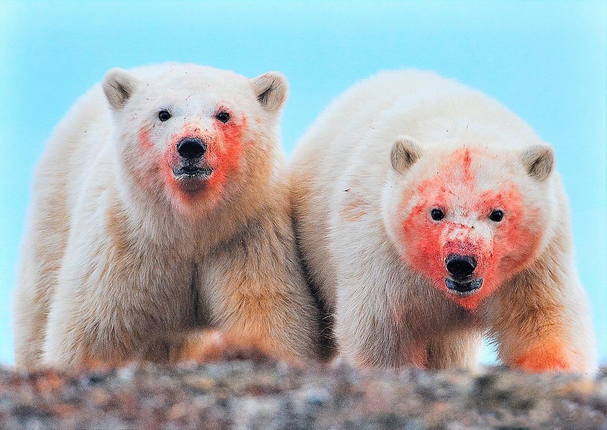 00 Vrangel Island RF. 01. Polar Bears. 07.12.13