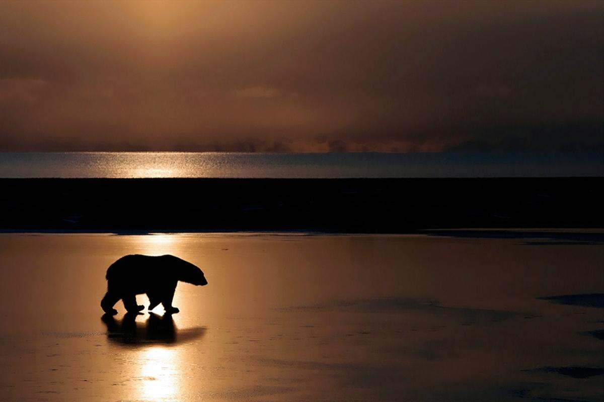 00 Vrangel Island RF. 010. Polar Bear. 07.12.13