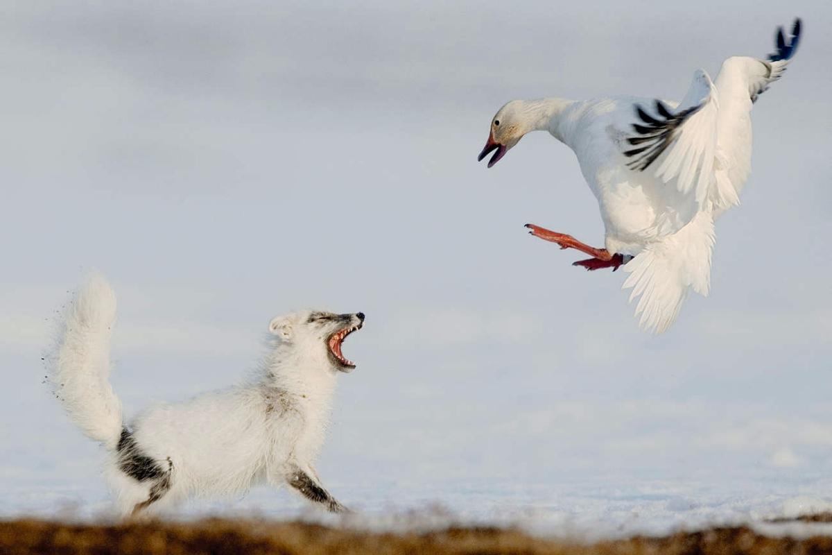 00 Vrangel Island RF. 04. Snow Fox and Snow Goose. 07.12.13