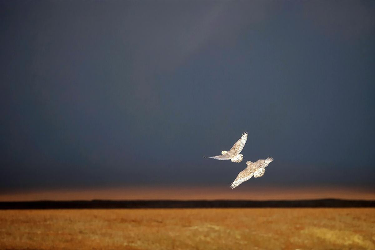 00 vrangel Island RF. 05. Snowy Owl. 07.12.13