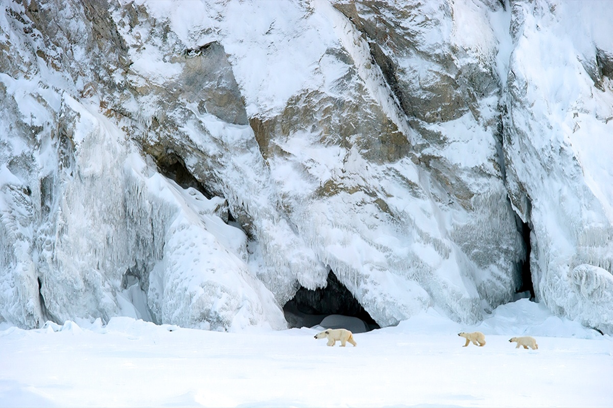00 Vrangel Island RF. 06. Polar Bears. 07.12.13