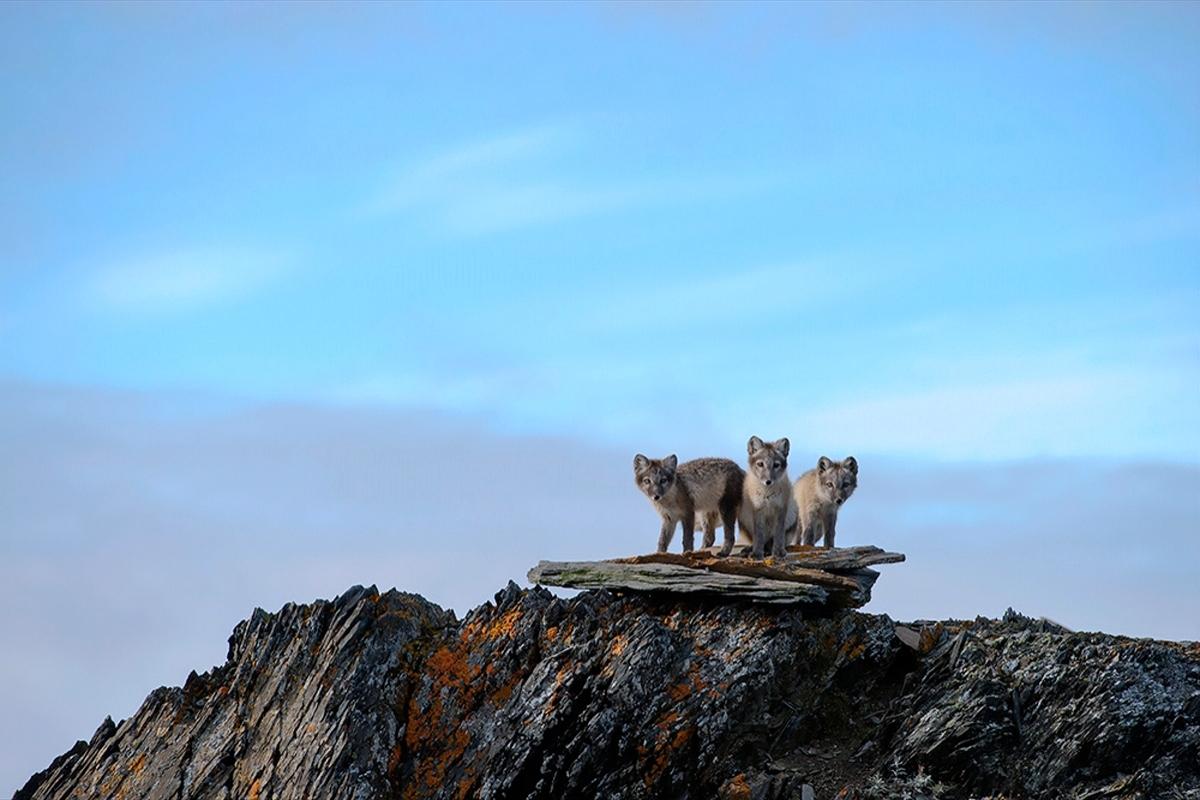 00 Vrangel Island RF. 07. Snow Foxes. 07.12.13