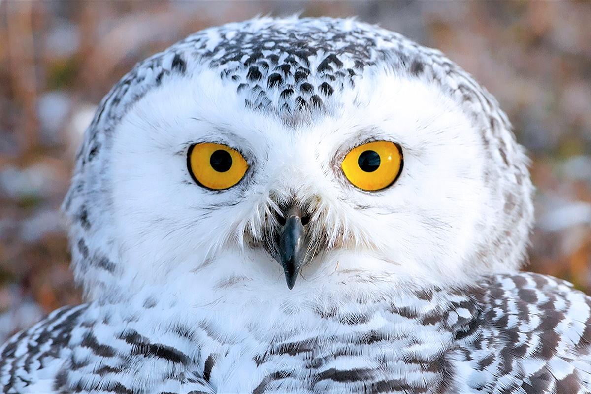 00 vrangel Island RF. 08. Snowy Owl. 07.12.13
