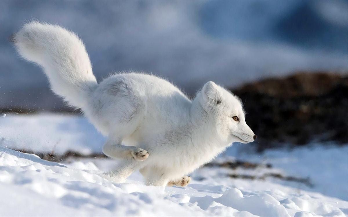 00 Vrangel Island RF. 09. Snow Fox. 07.12.13