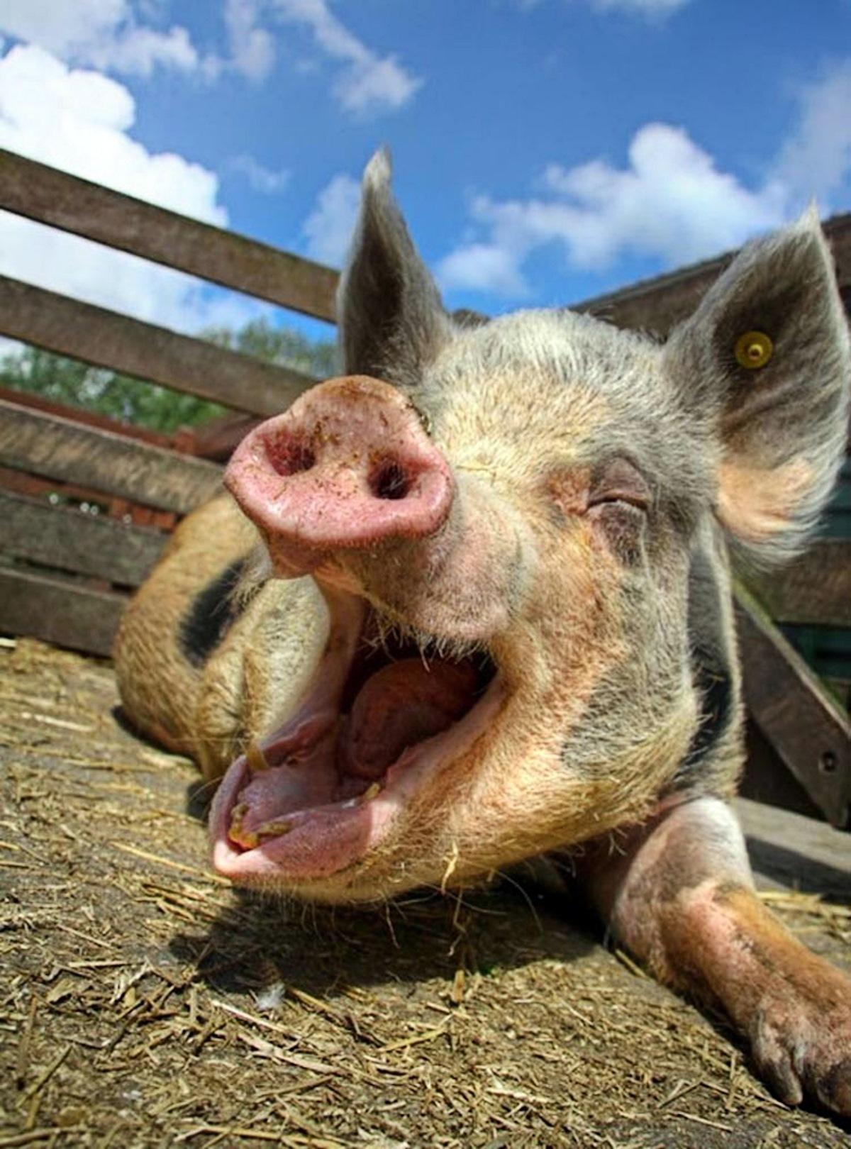 00 happy pig. 20.09.14
