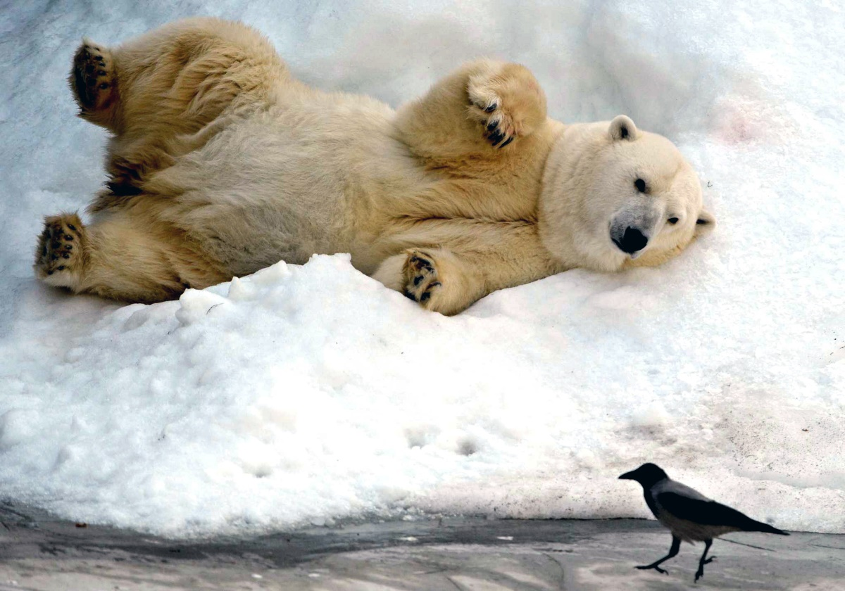 00 polar bear. moscow zoopark. 17.09.14