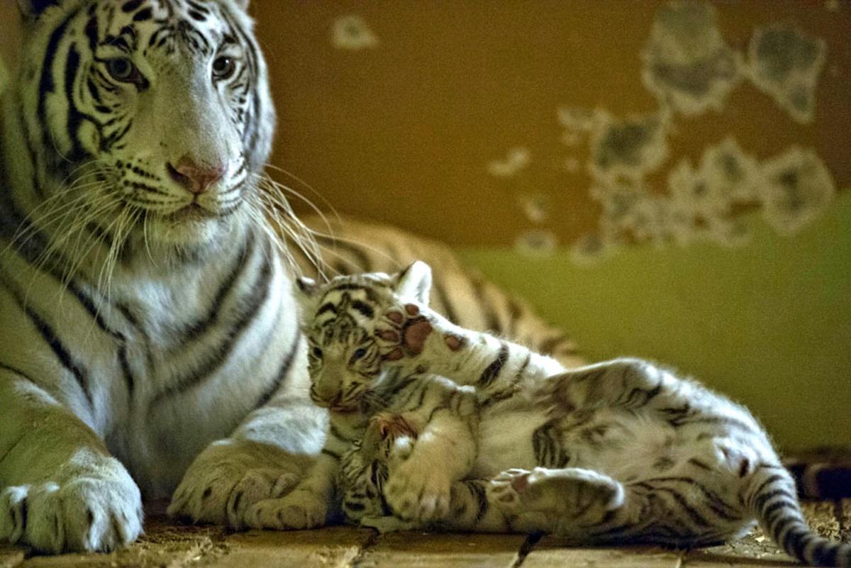 00 white bengal tiger. yekaterinburg. RUSSIA. 22.09.14