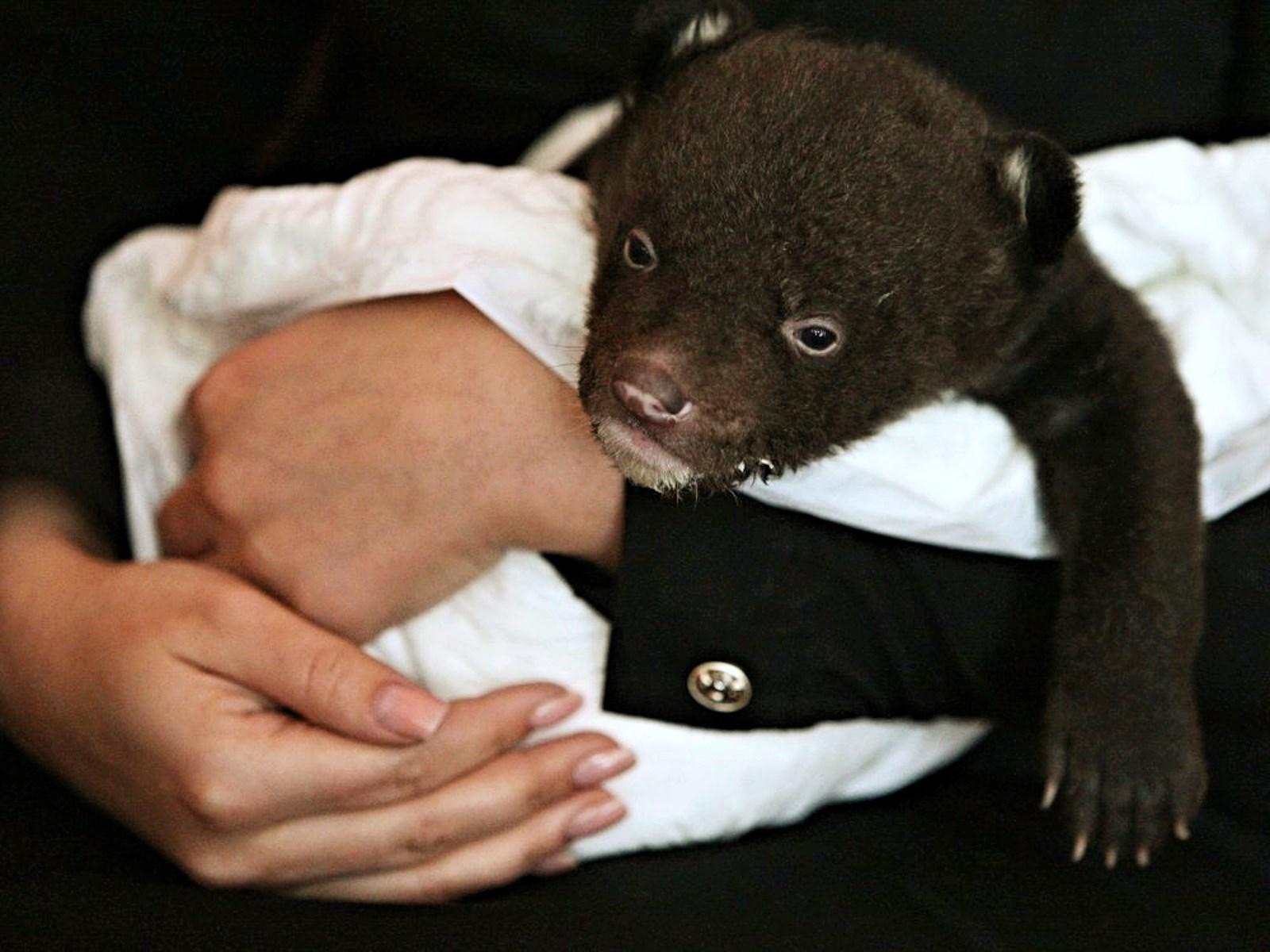 00 black bear cub. vladivostok. russia 01. 27.02.15