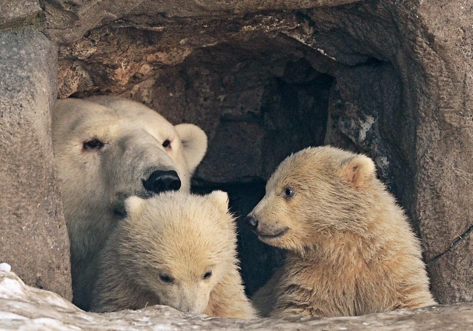 00 Polar bear cubs. Moscow Zoopark 01. Russia. 26.02.15