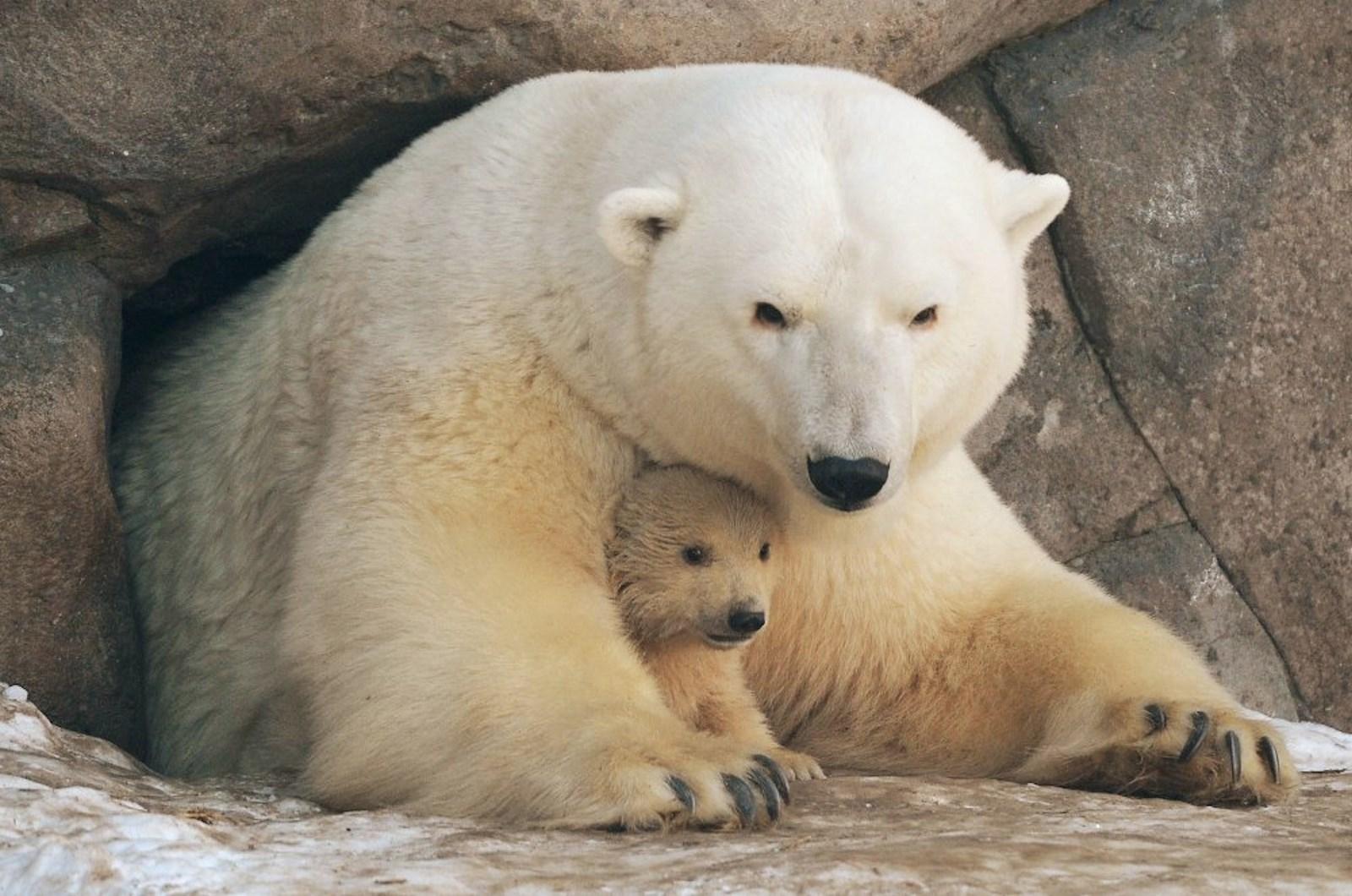 00 Polar bear cubs. Moscow Zoopark 02. Russia. 26.02.15