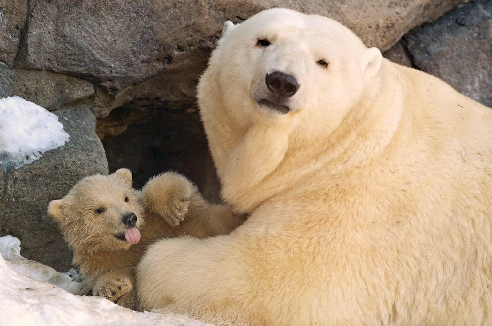 00 Polar bear cubs. Moscow Zoopark 03. Russia. 26.02.15