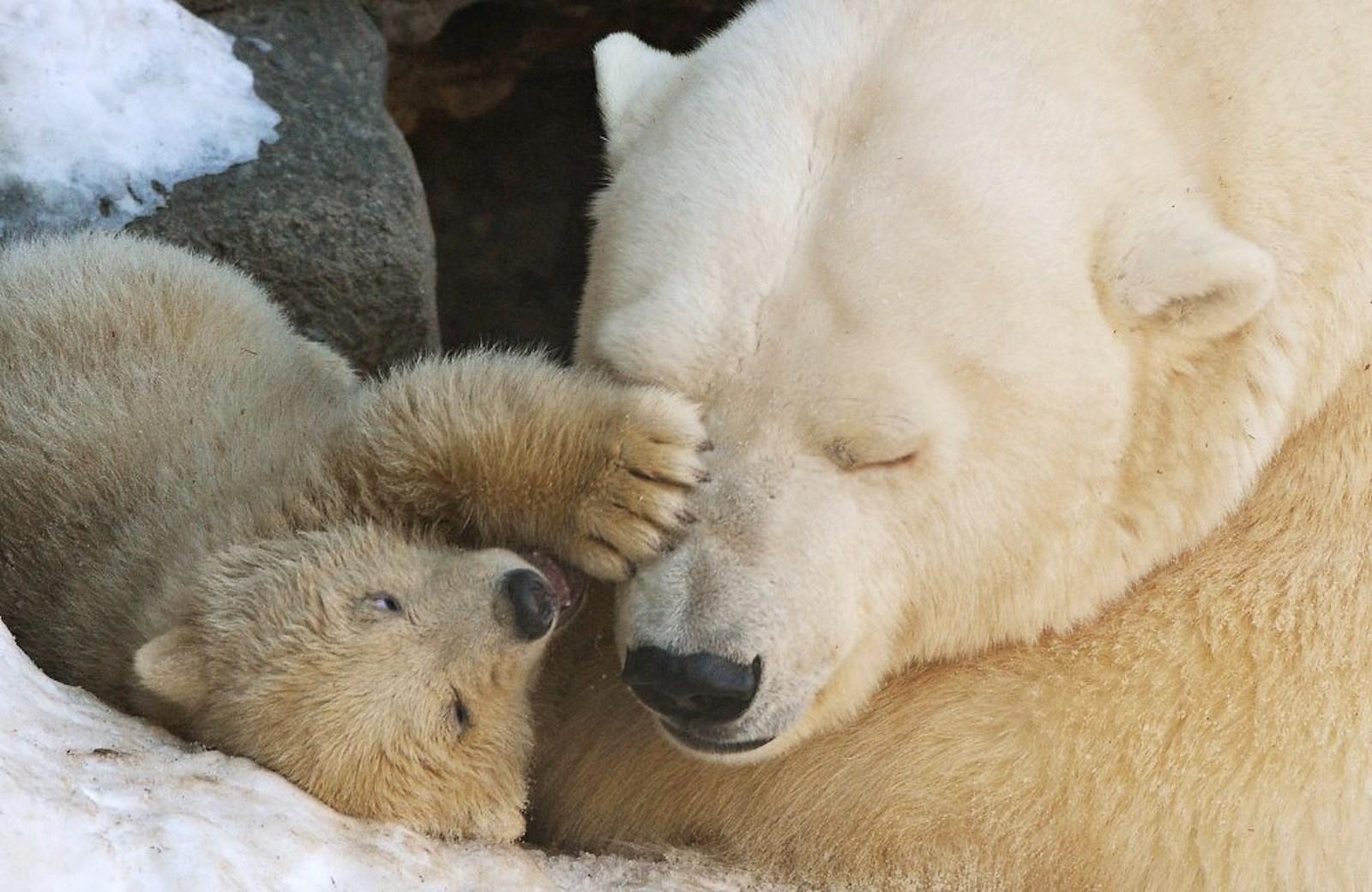 00 Polar bear cubs. Moscow Zoopark 04. Russia. 26.02.15