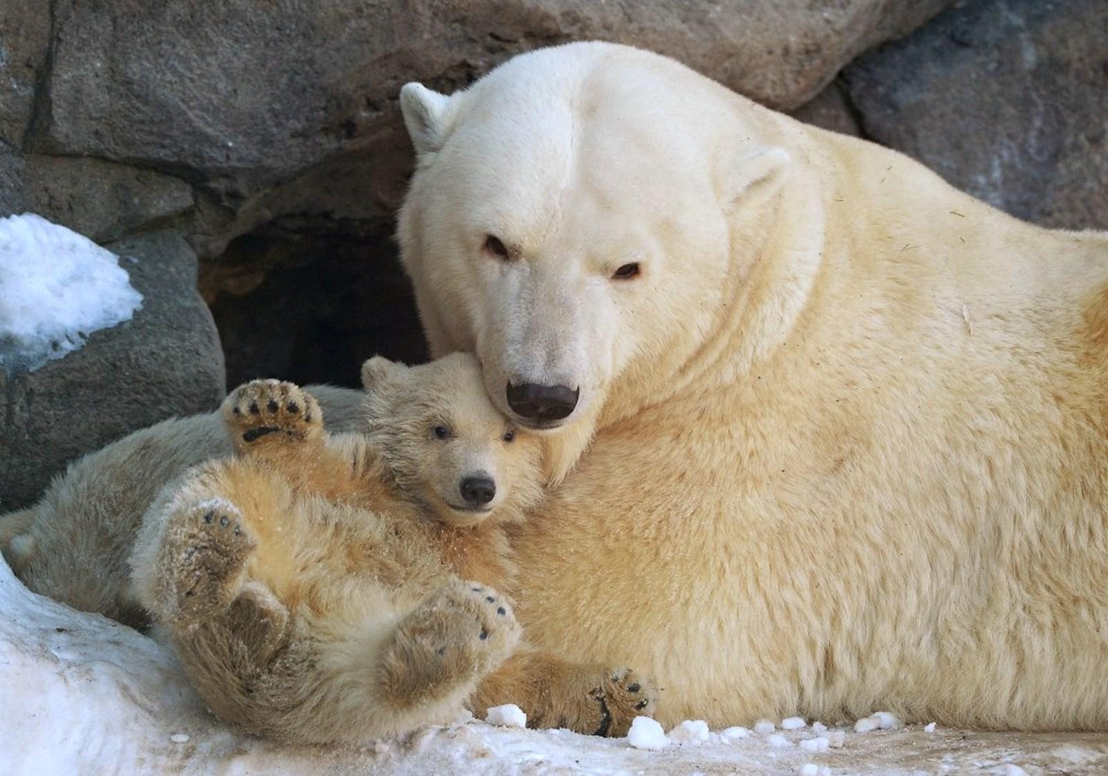00 Polar bear cubs. Moscow Zoopark 05. Russia. 26.02.15