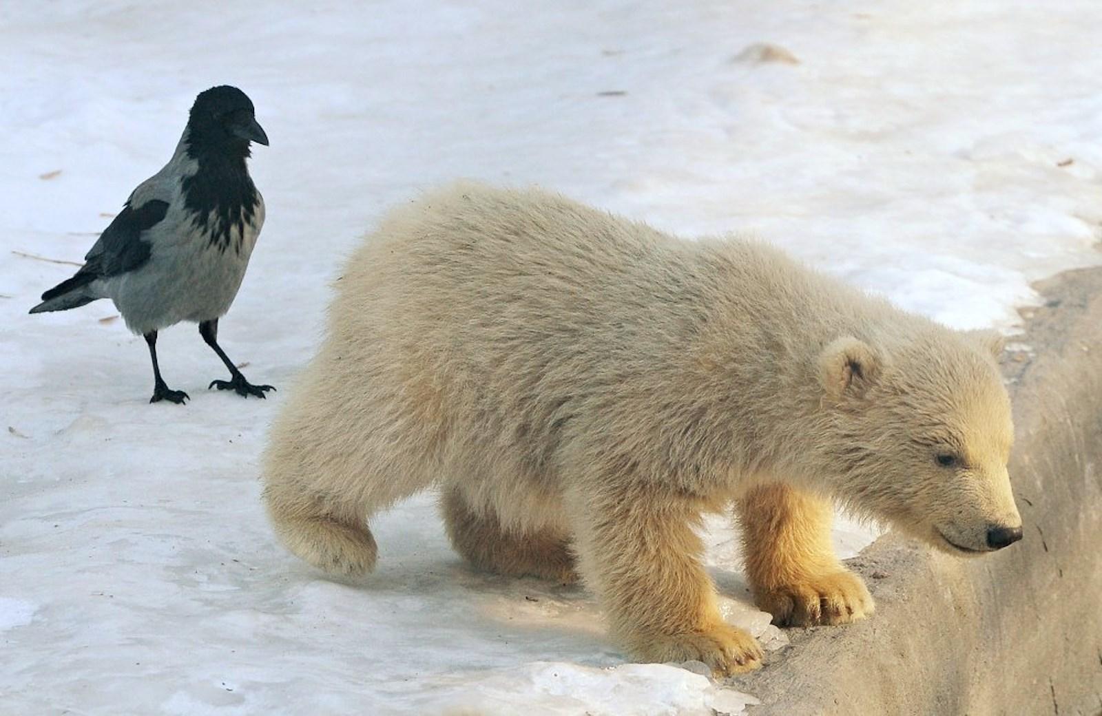 00 Polar bear cubs. Moscow Zoopark 06. Russia. 26.02.15