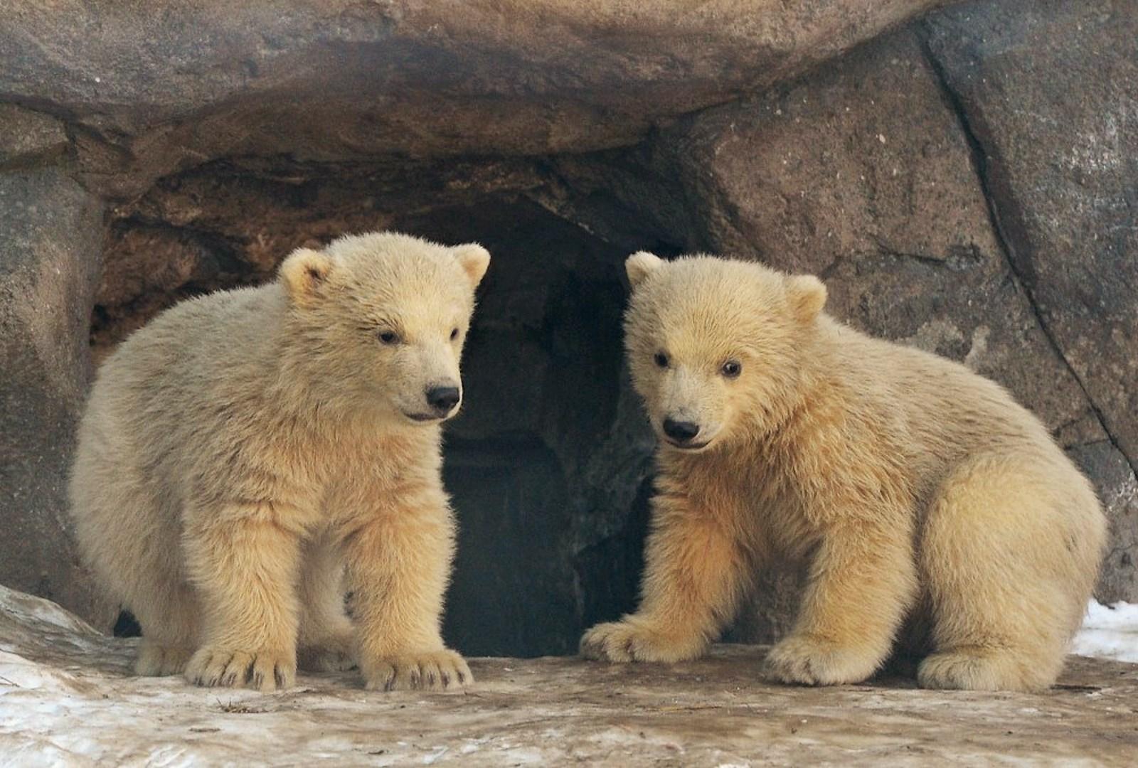 00 Polar bear cubs. Moscow Zoopark 07. Russia. 26.02.15
