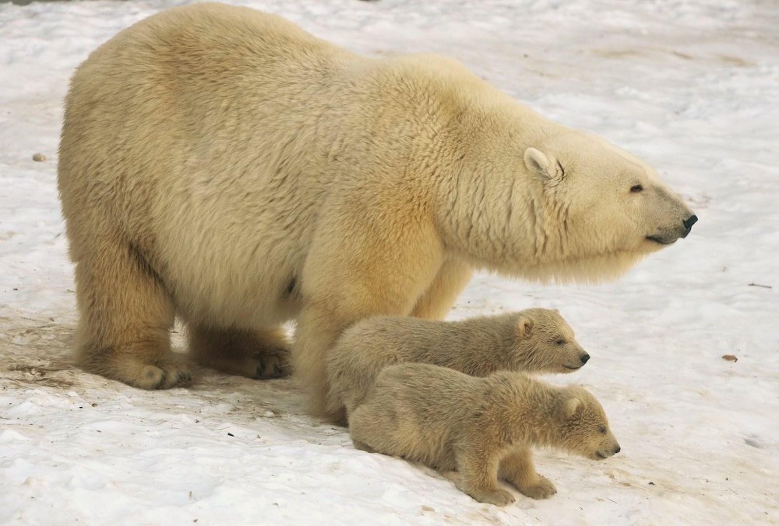 00 Polar bear cubs. Moscow Zoopark 08. Russia. 26.02.15