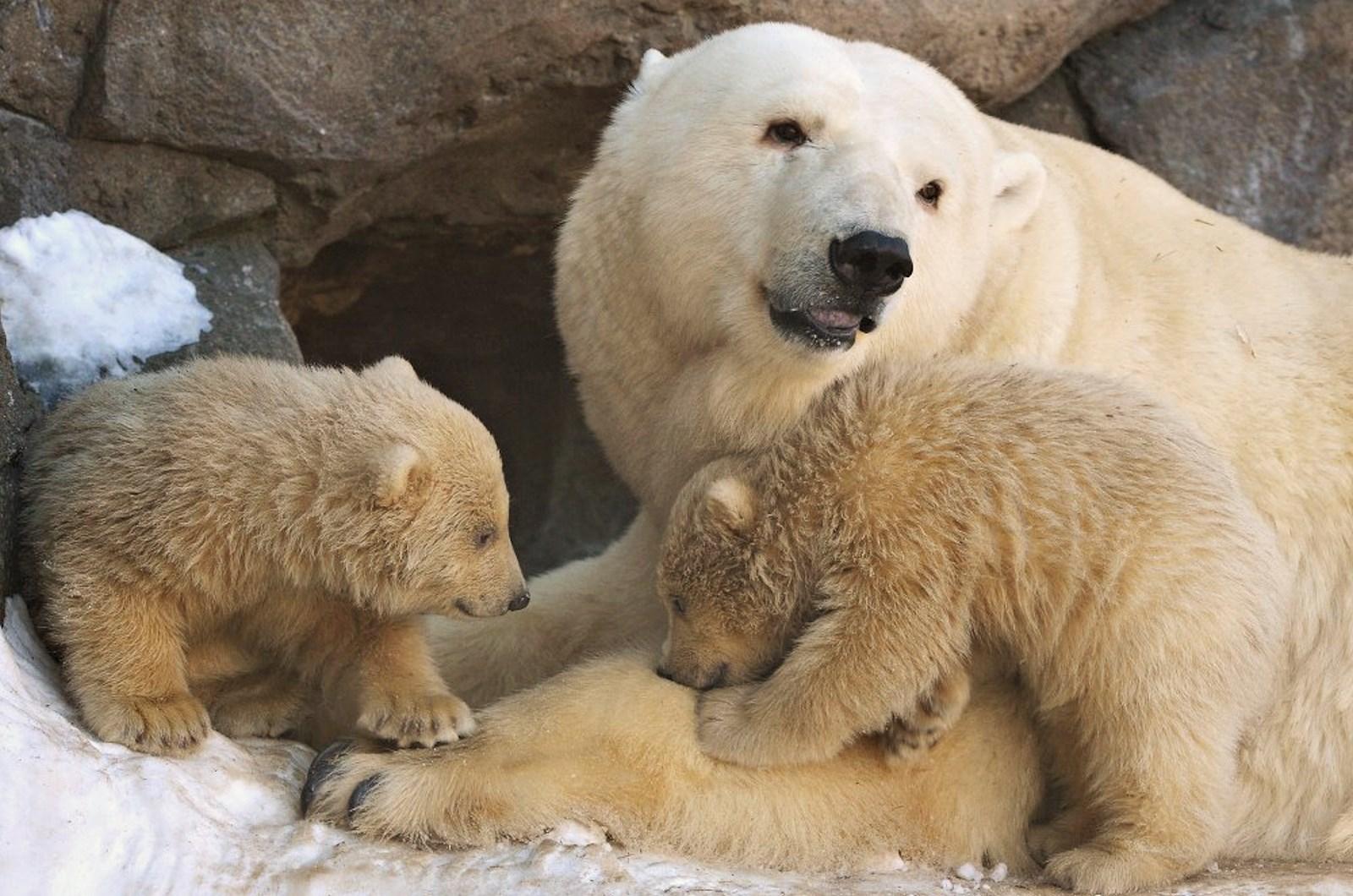 00 Polar bear cubs. Moscow Zoopark 09. Russia. 26.02.15