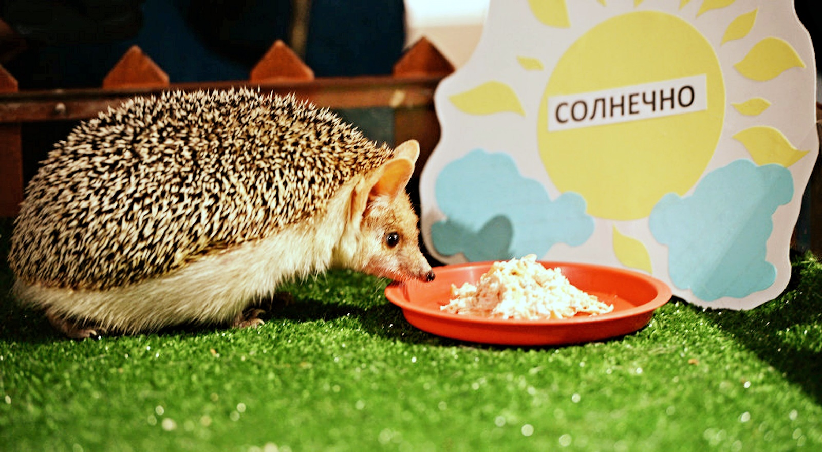 00 Pugovka the Hedgehog. Groundhog Day. Russia. Yekaterinburg Zoo. 03.02.15