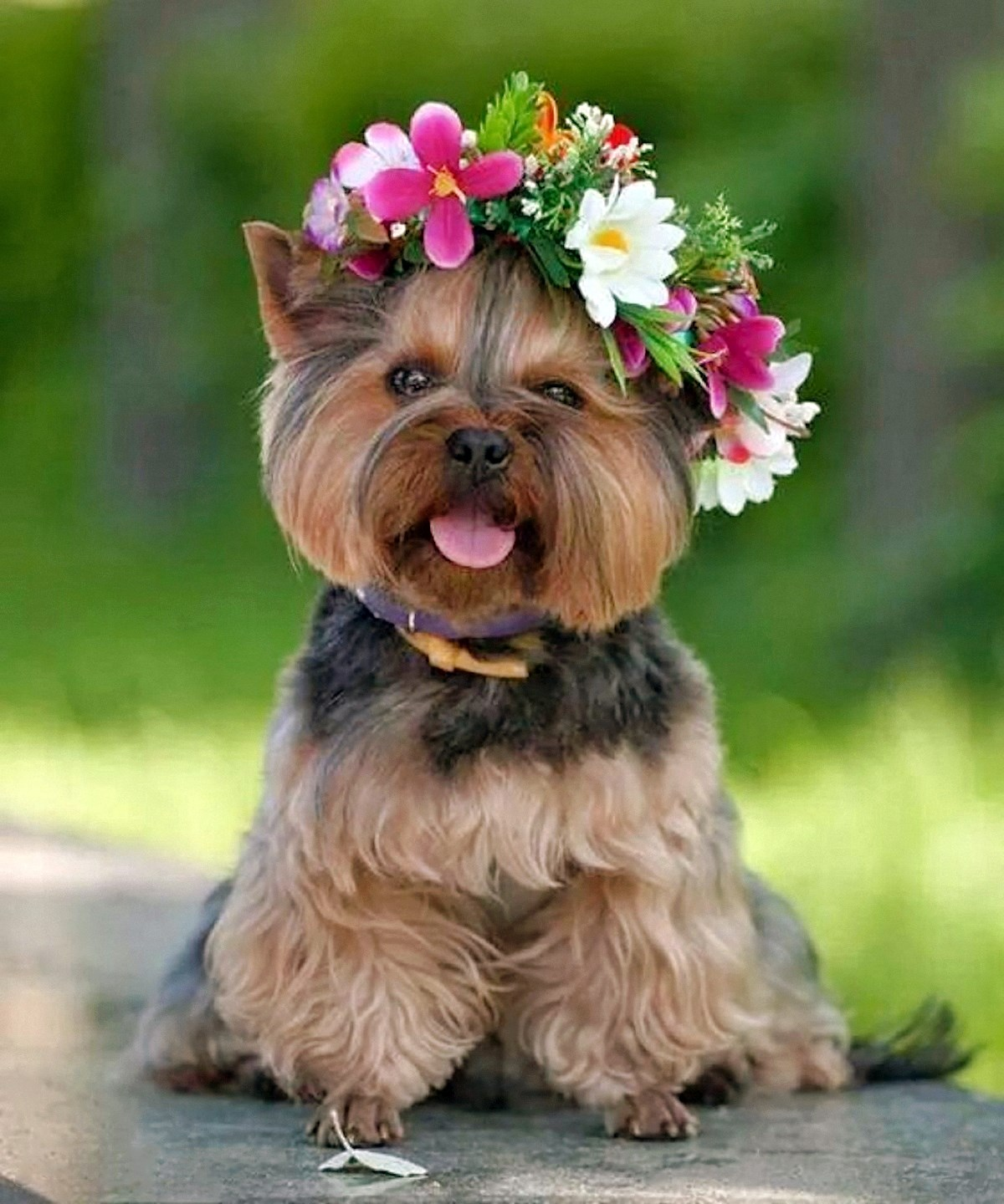 Yorkshire Terrier | Voices from Russia