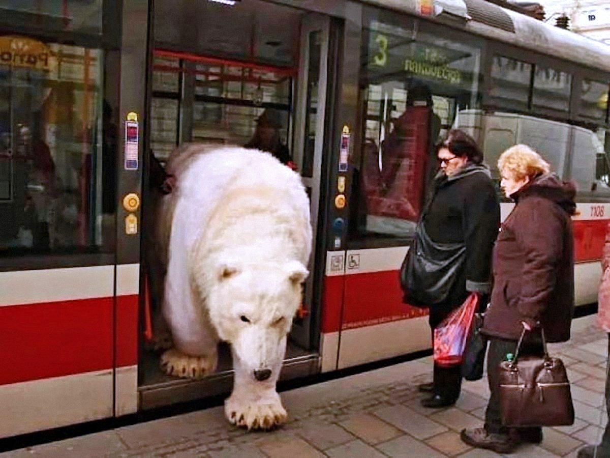 00 polar bear in trolley bus. Czechia. 21.05.15