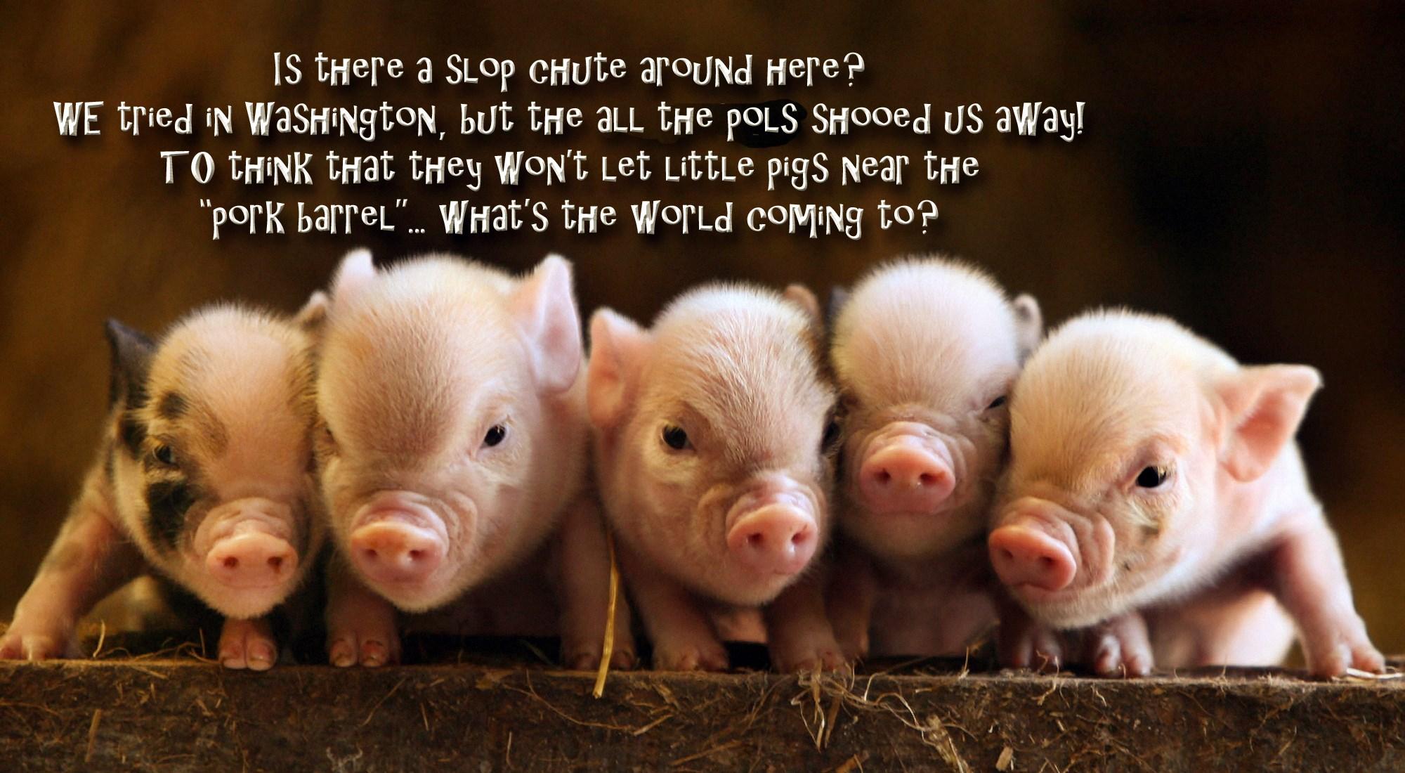 00 baby pigs. 170715