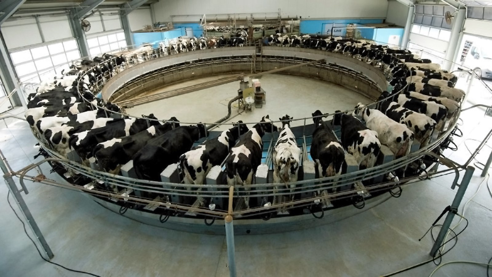 00 cows in european dairy farm 100815