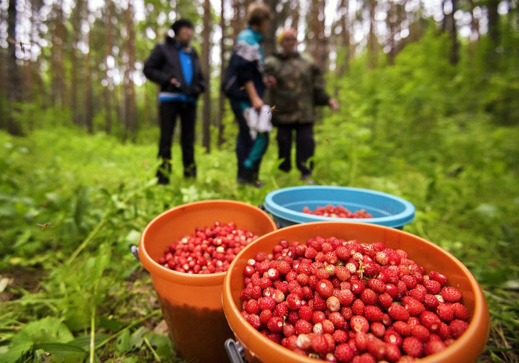00 strawberries in Omsk Oblast. 010815