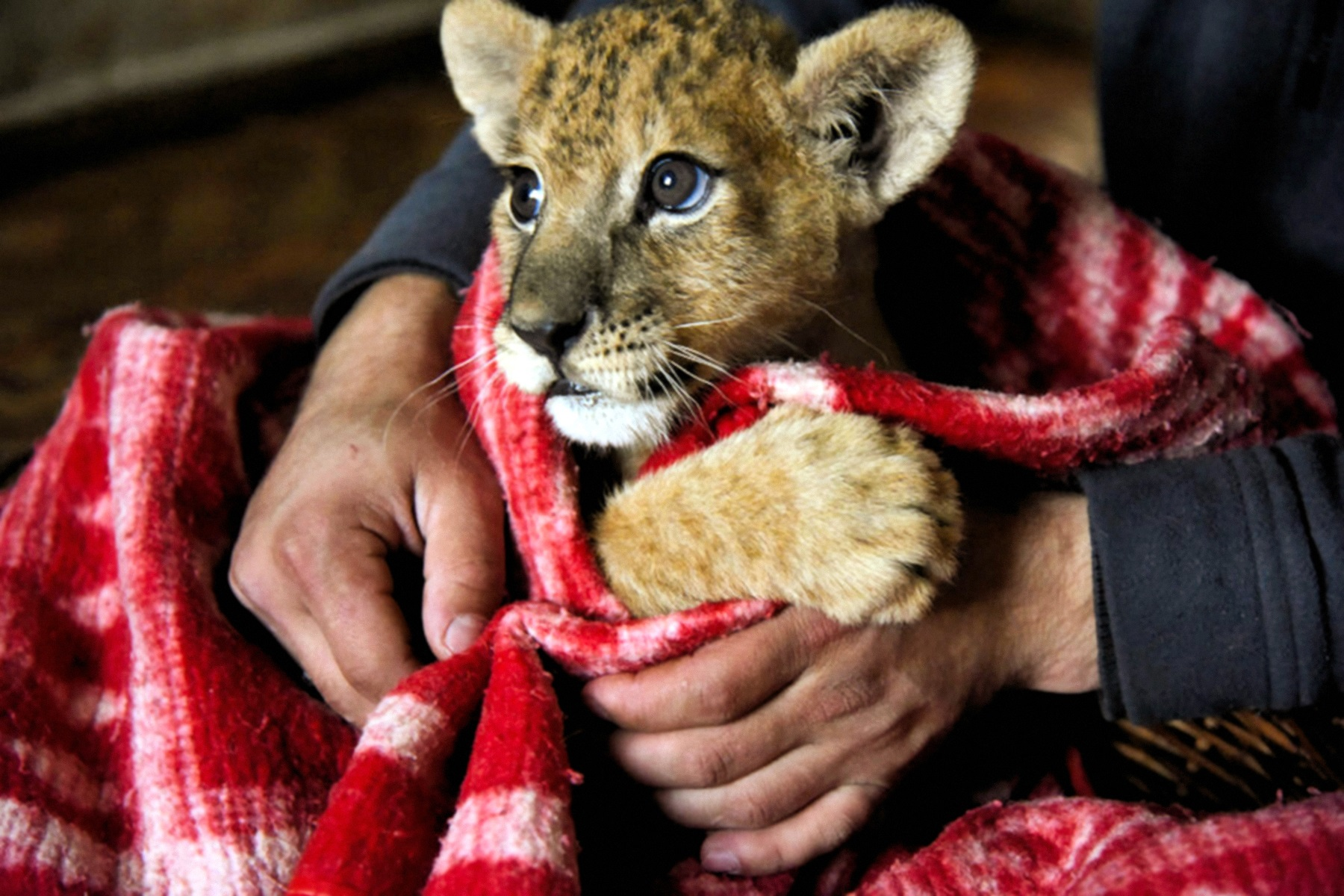 00 little lion cub in crimea 281115