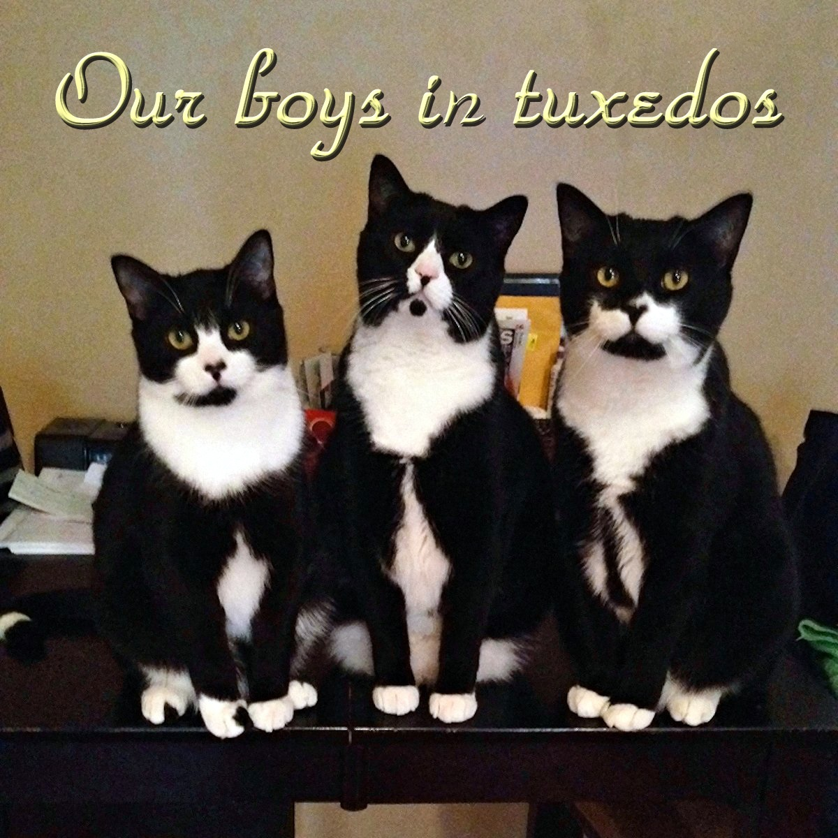 00 cats our boys in tuxedos 121215
