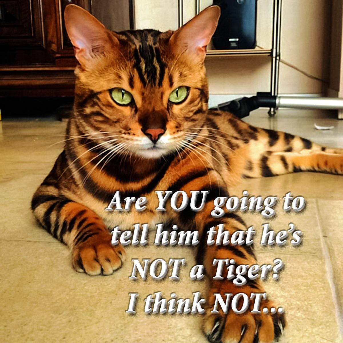 00-tiger-cat-111216